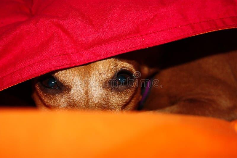 Hundewelpe versteckt sich in der Wärme zwischen den Decken seines Hauses an einem Wintertag stockfoto