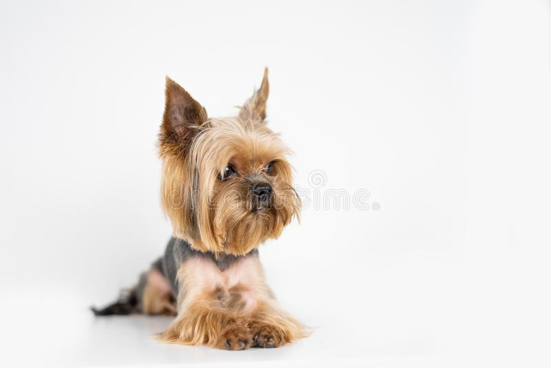 Hundeyorkshire-Terrier auf weißem Hintergrund lizenzfreie stockfotografie