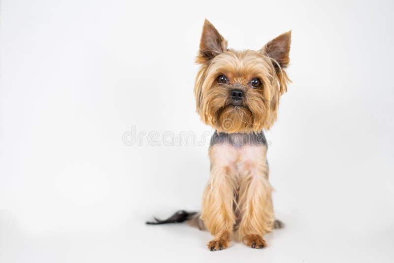 Hundeyorkshire-Terrier auf weißem Hintergrund lizenzfreies stockbild