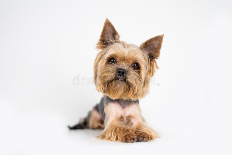 Hundeyorkshire-Terrier auf weißem Hintergrund lizenzfreies stockfoto
