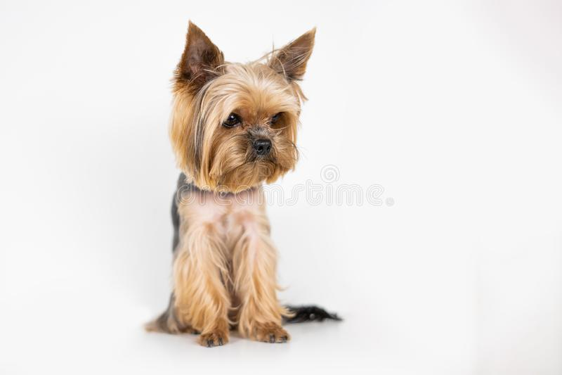 Hundeyorkshire-Terrier auf weißem Hintergrund stockbild