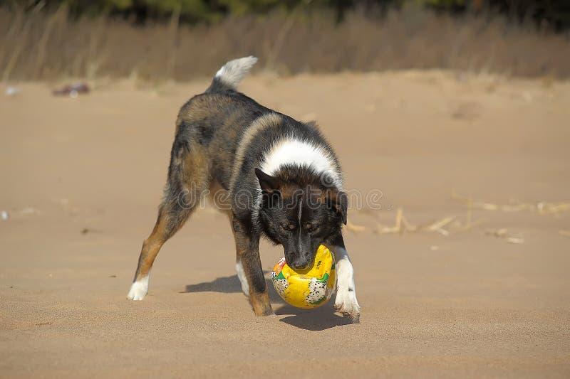 Hundezwinger auf dem Strand stockbild
