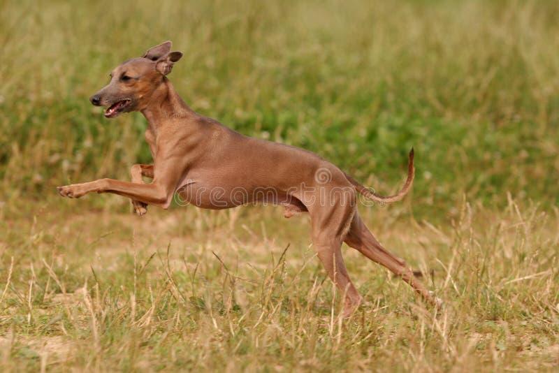 Hundezwinger des italienischen Windhunds auf dem Gras stockfoto