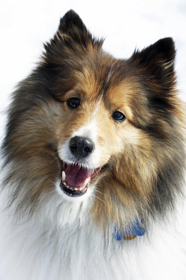 hundfår shetland royaltyfri fotografi