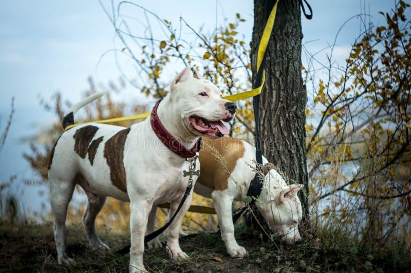Hundfighting stockfotos