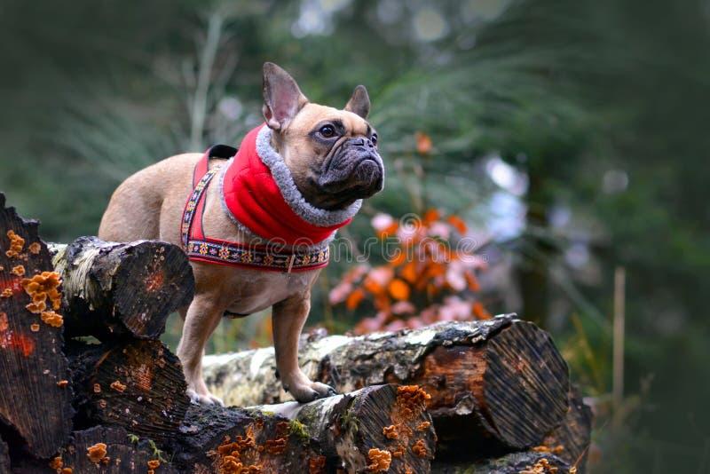 Hundflicka för fransk bulldogg med den röda vinterhalsduken runt om halsanseende på högen av trädstammar i skog arkivfoto