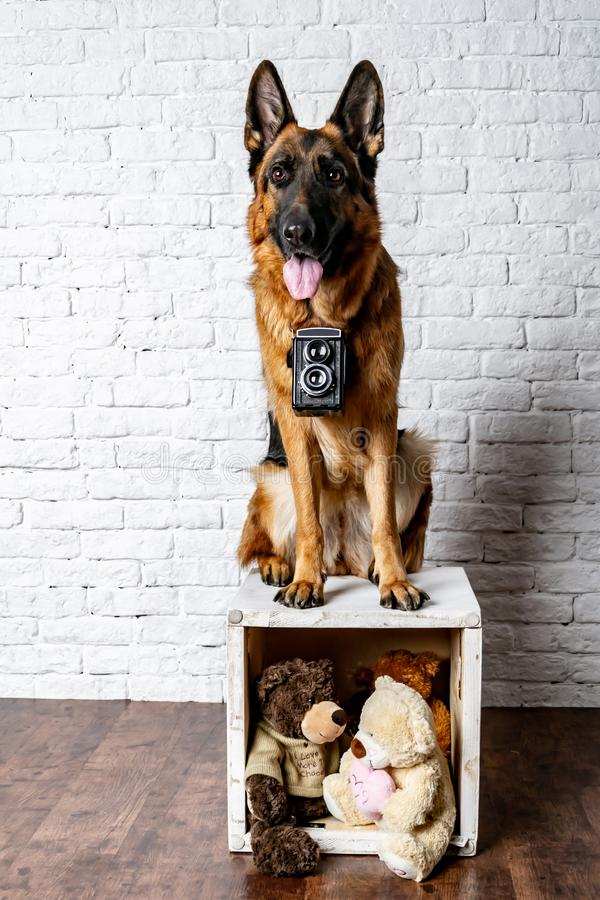 Hundfotograf Tysk herde med en tappningkamera, fotoperiod i studion arkivbilder