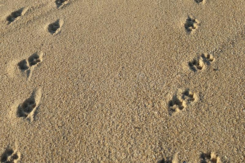 Hundfotspår på den sandiga stranden arkivfoto