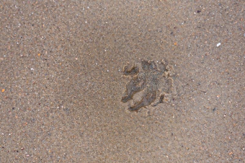 Hundfotspår på en sandstrand arkivfoton