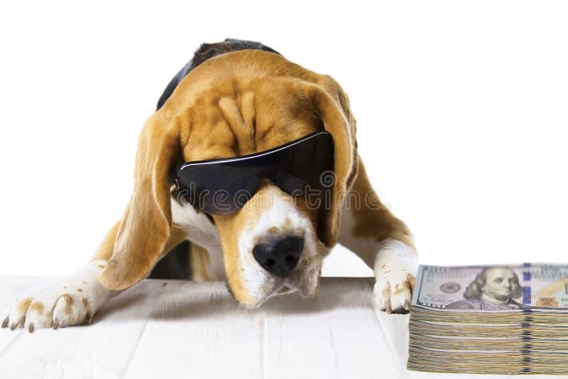 Hundframstickandet i kontoret tjänar och räknar om pengar royaltyfria foton