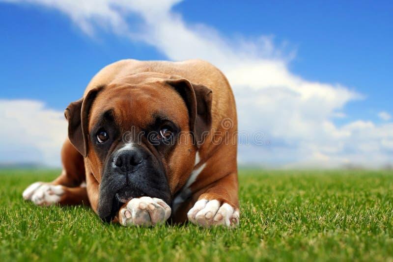 hundgräsläggande royaltyfria foton