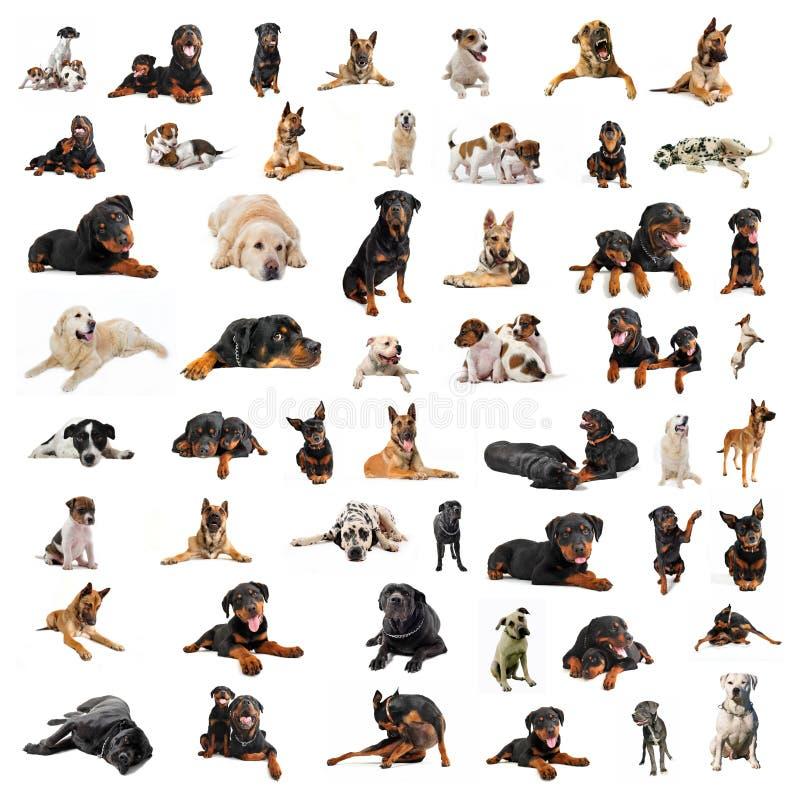 hundgrupppurebred royaltyfri bild