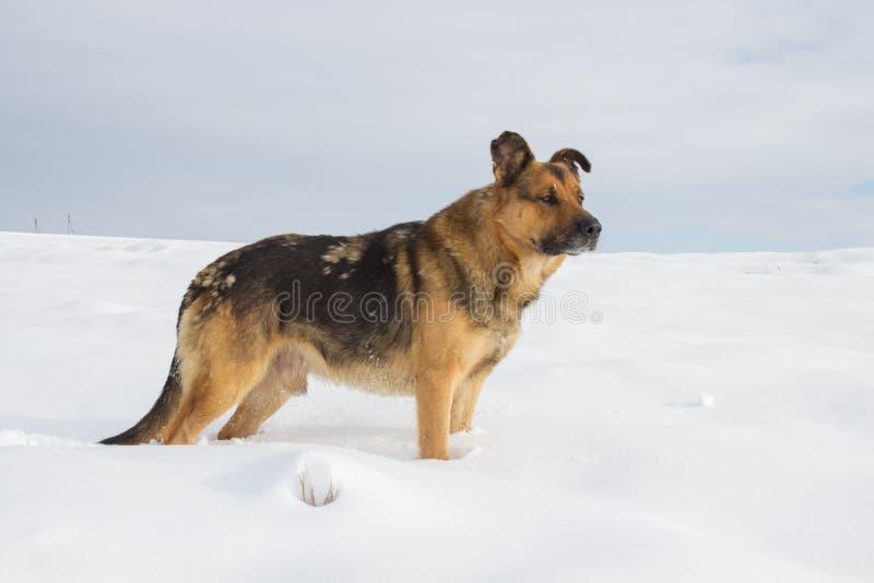 Hundherden i snön, hunden är en tysk herde i vinter i de fältställningarna och jakterna arkivfoto