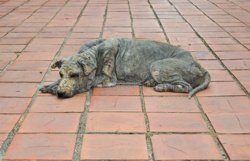 Hundhudspetälska royaltyfria foton