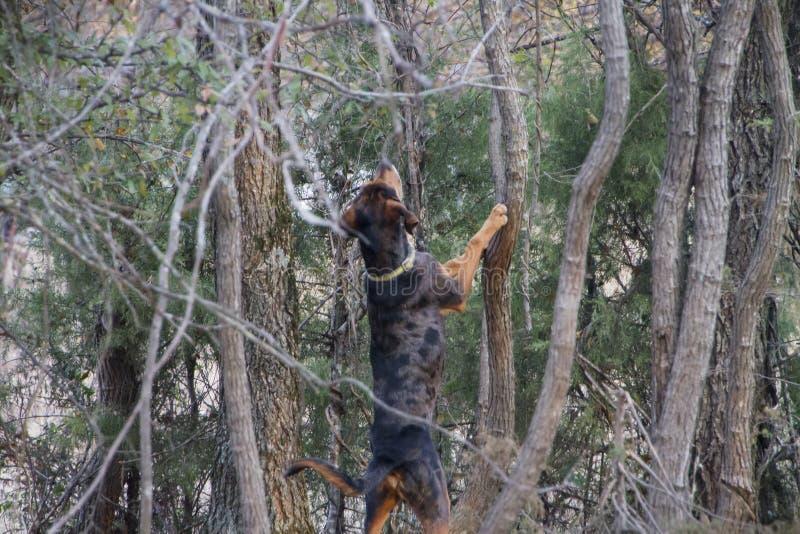 Hundhund som skäller upp ett träd arkivbild