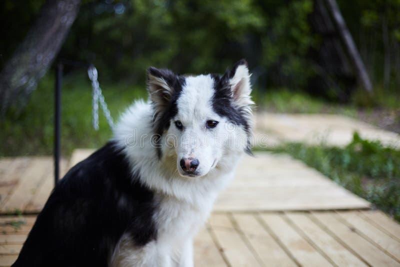 Hundhundkoja med Siberian skrovligt royaltyfri bild