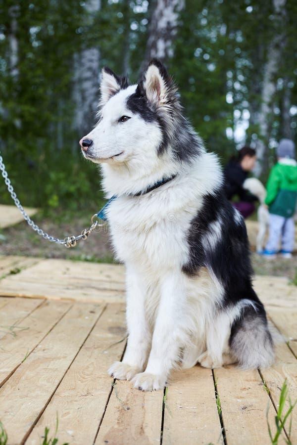 Hundhundkoja med Siberian skrovligt arkivfoto