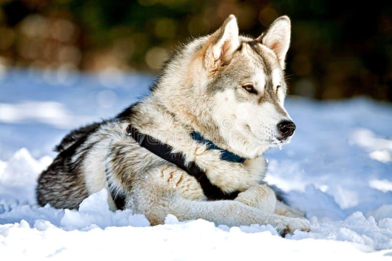 hundhusky som lägger siberian snow royaltyfri bild