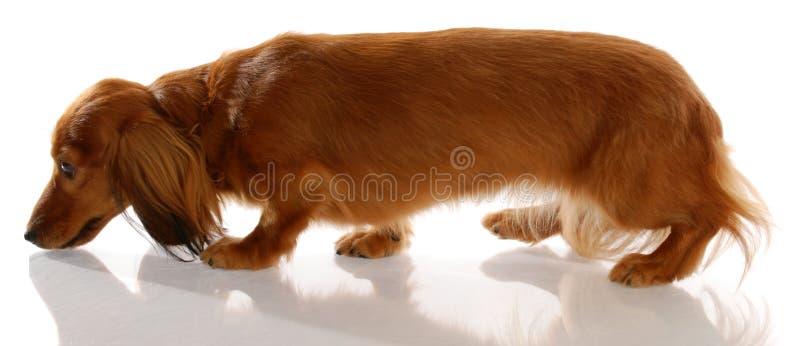 hundjordningsnäsa till royaltyfria bilder