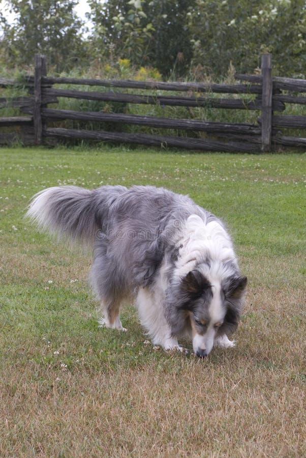 hundjordningsshetland sniffa arkivfoton