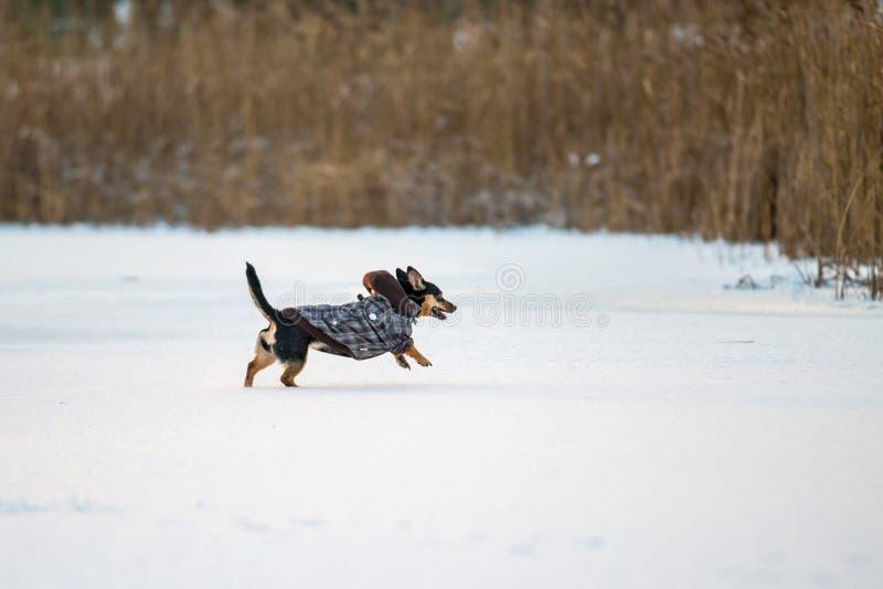 Hundkörning med klädervinter royaltyfri bild