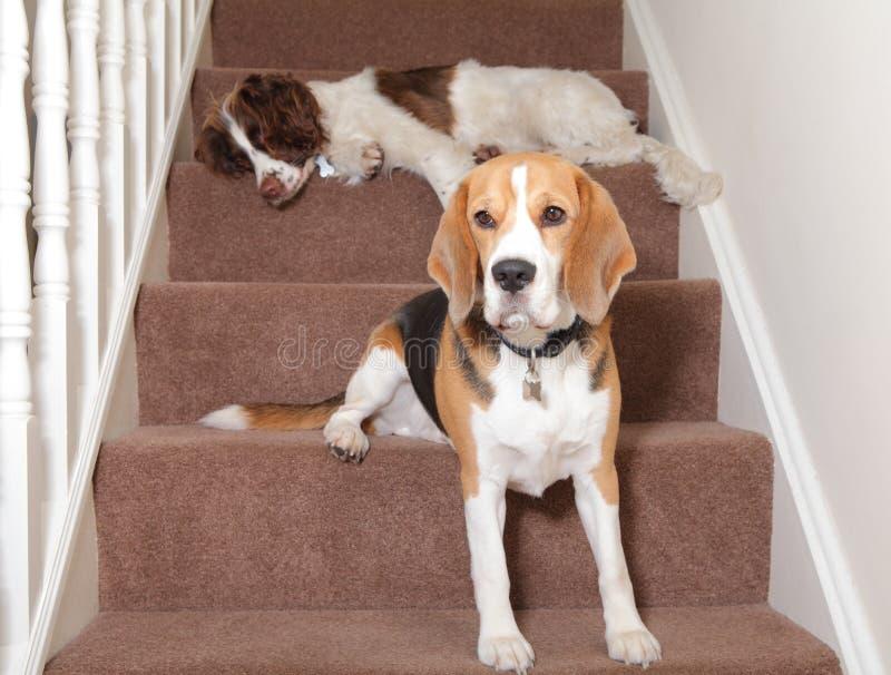Hundkapplöpning royaltyfri bild