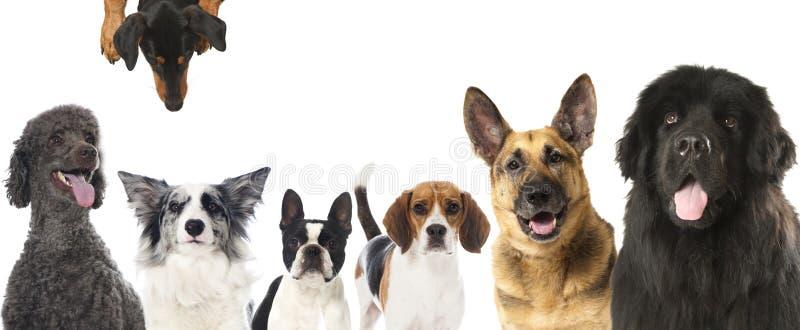 Hundkapplöpning fotografering för bildbyråer