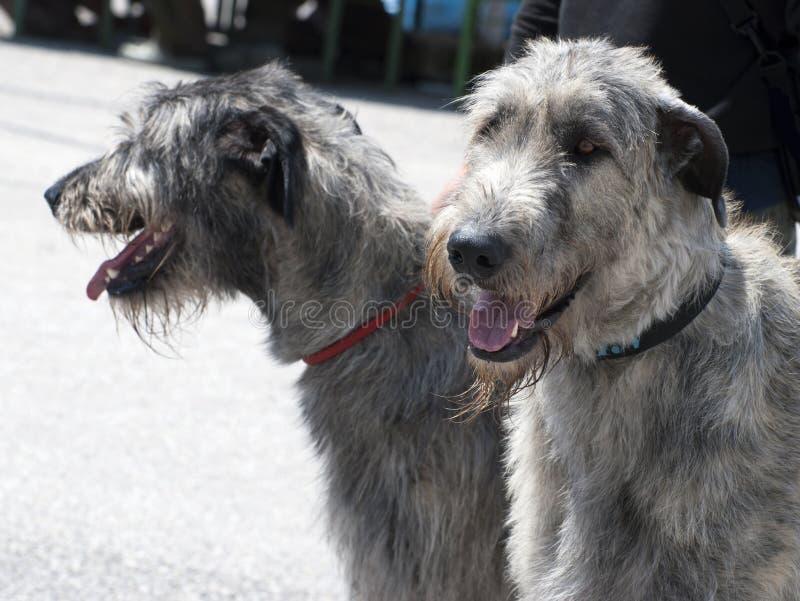 Hundkapplöpning för irländsk varghund royaltyfria bilder