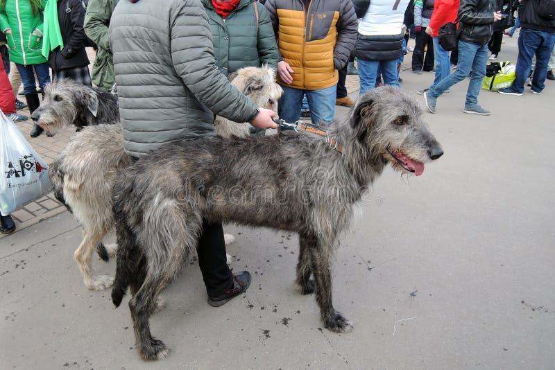 Hundkapplöpning för irländsk varghund på beröm för dag för St Patrick ` s i Moskva royaltyfri foto