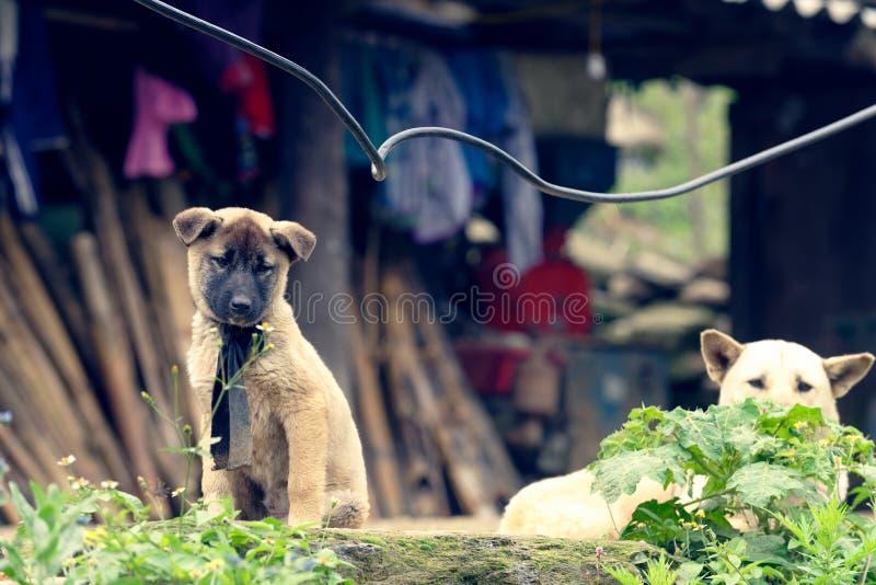 Hundkapplöpning i byn för Sa-PA-dal, Vietnam arkivbilder