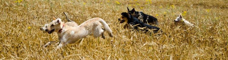 Hundkapplöpning i fältet arkivfoton