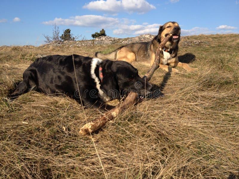 Hundkapplöpning med filialen arkivfoto