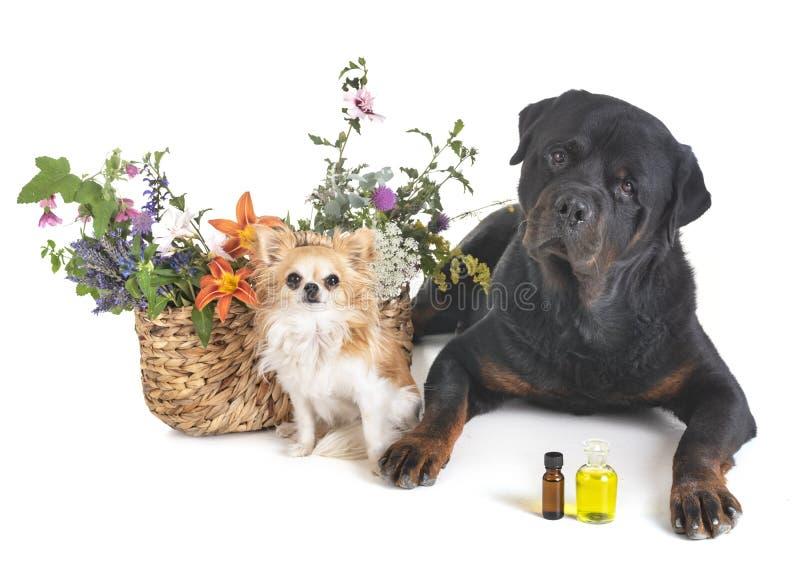 Hundkapplöpning och blommor arkivbilder