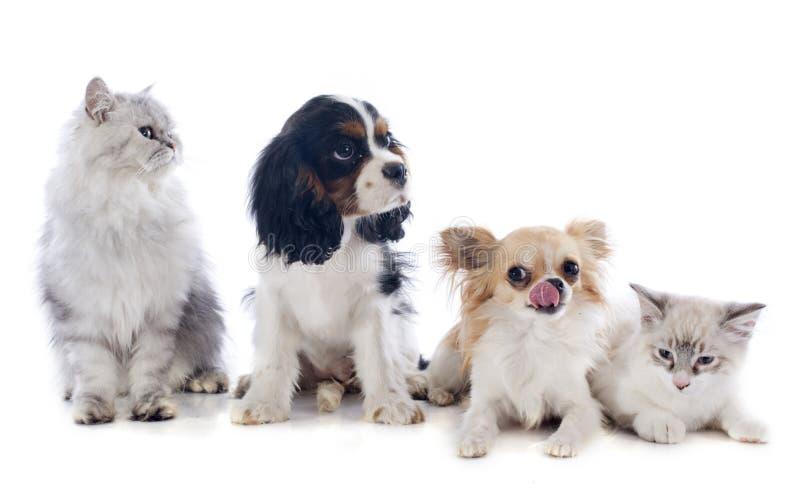 Hundkapplöpning och katter arkivfoto