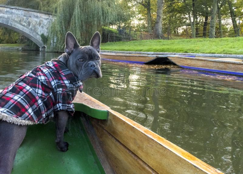 Hundkapplöpning på ferie royaltyfri bild