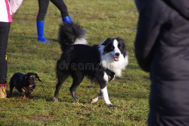 Hundkapplöpning på gå royaltyfri foto
