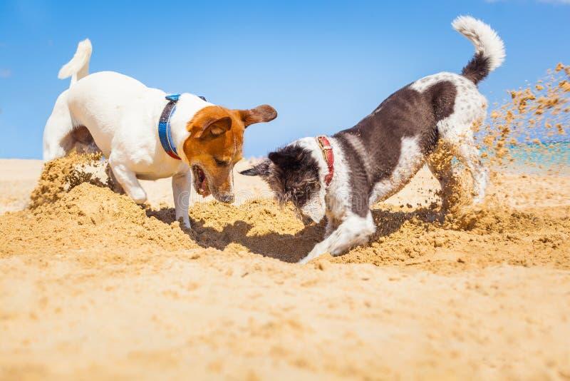 Hundkapplöpning som gräver ett hål royaltyfria bilder