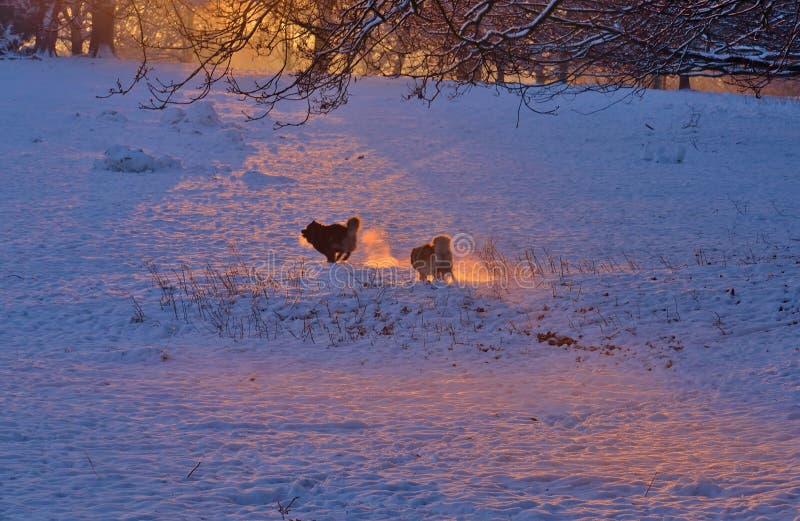 Hundkapplöpning som jagar i snöfälten royaltyfri fotografi