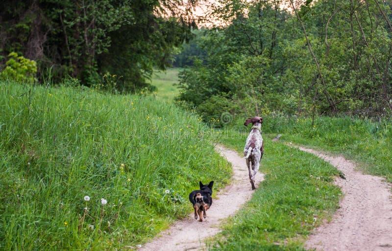 Hundkapplöpning som kör i skog royaltyfri bild