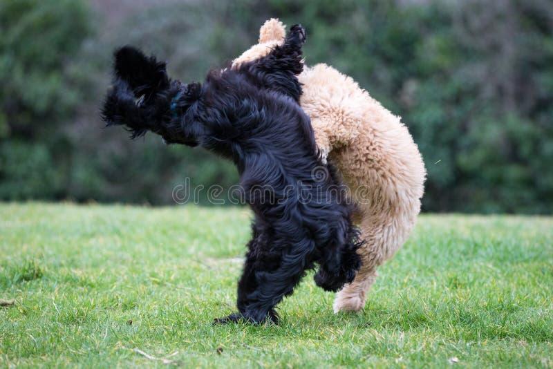 Hundkapplöpning som kör och spelar royaltyfri fotografi