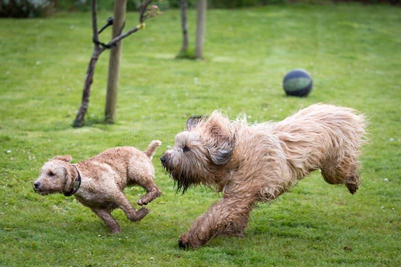 Hundkapplöpning som kör och spelar arkivbild