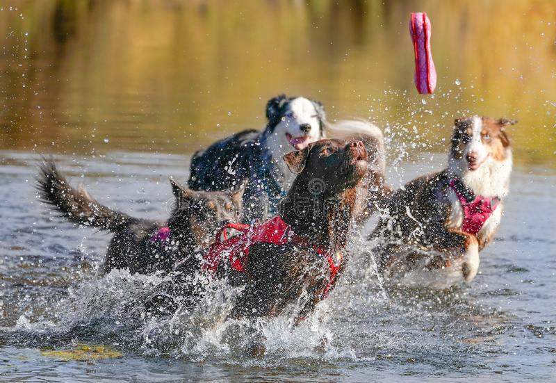 Hundkapplöpning som kör och spelar i vatten fotografering för bildbyråer