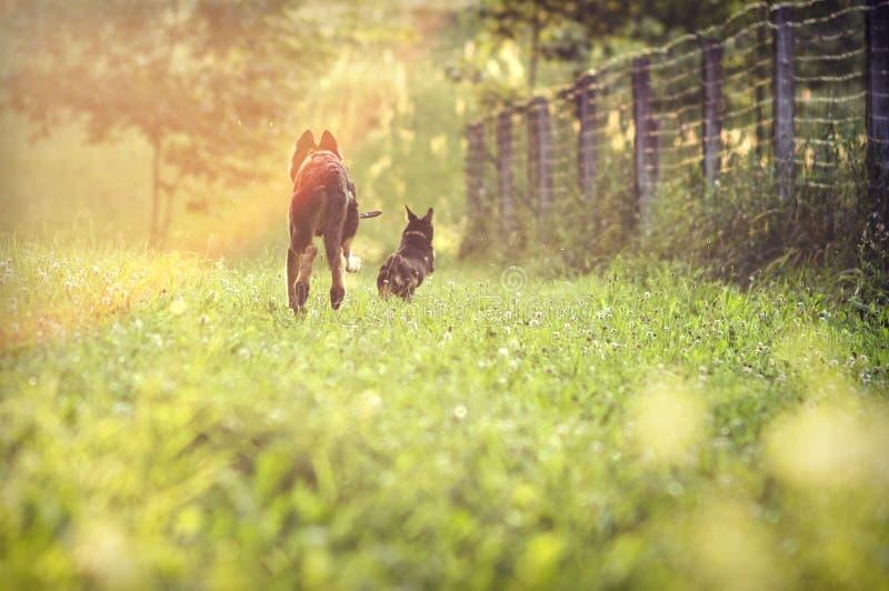 Hundkapplöpning som kör på fält arkivbild