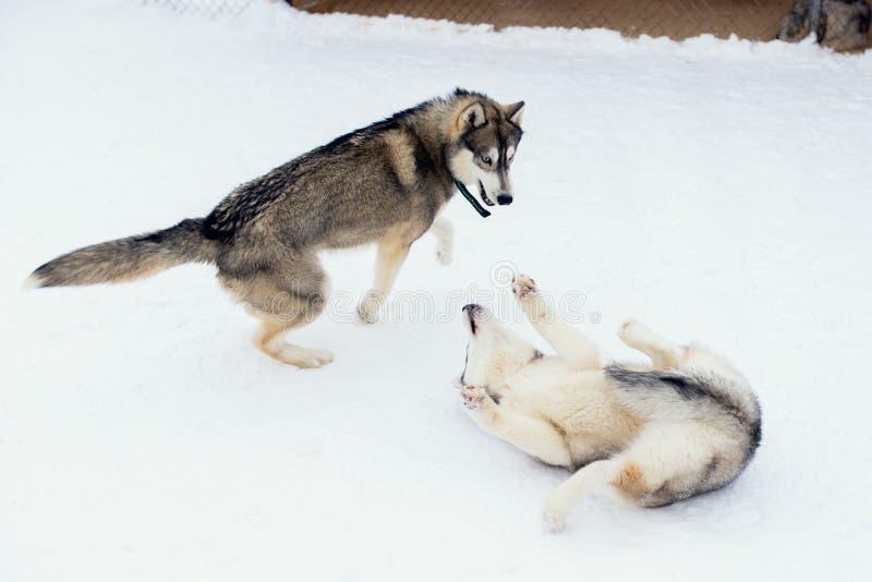 Hundkapplöpning som leker i snowen E r royaltyfri fotografi