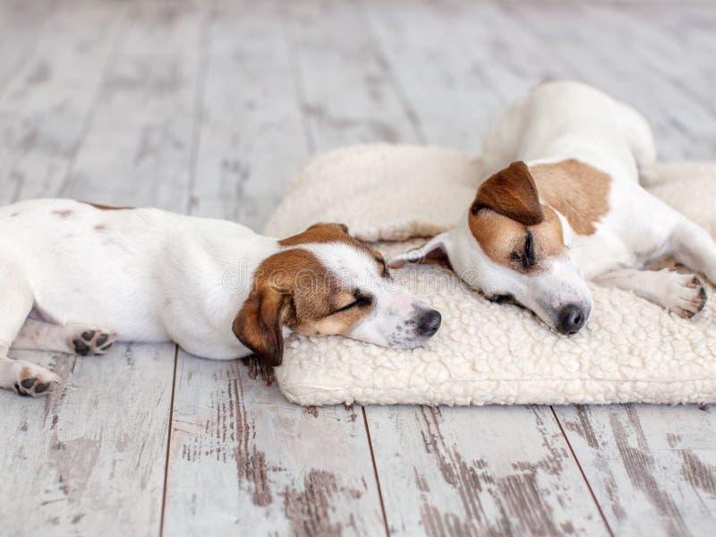 Hundkapplöpning som sover på golvet arkivbild