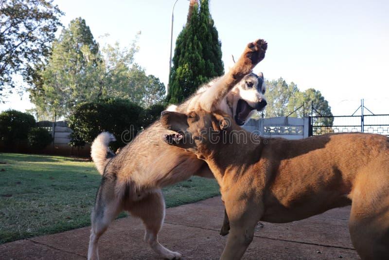 Hundkapplöpning som spelar med de Husky Vs Rhodesian Ridgeback royaltyfri fotografi