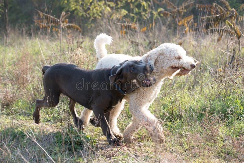 Hundkapplöpning som spelar med pinnen arkivbilder