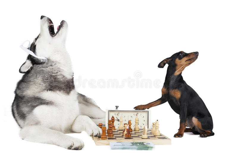 Hundkapplöpning som spelar schack arkivbilder