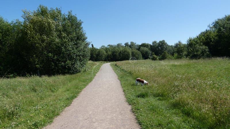 Hundkapplöpning ut på en sommardag i England arkivfoto