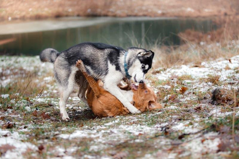 Hundkapplöpningen går i parkera i vinter royaltyfri bild